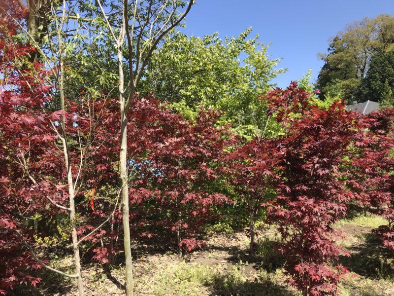 春から秋まで紅いモミジ