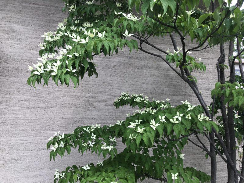 林建築設計室 玄関脇 ヤマボウシの花