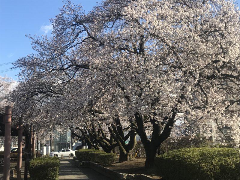 松本市南部公園の桜 190415