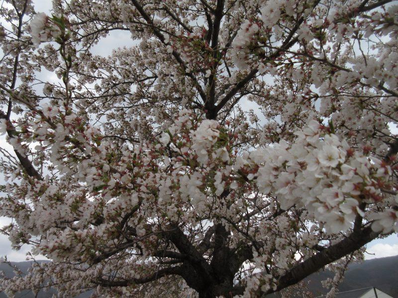 松本市 薄川の桜
