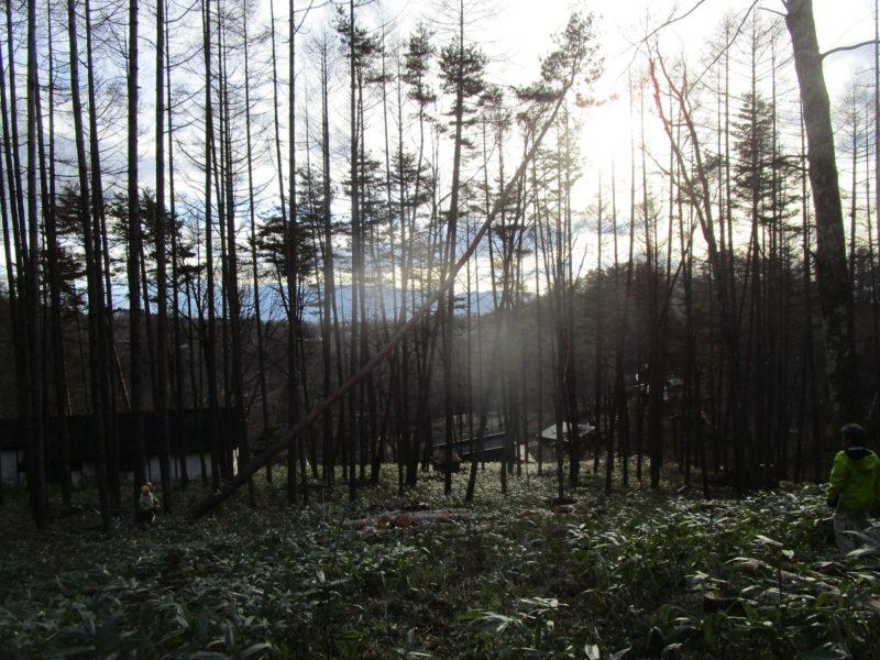 伐採工事 蓼科高原